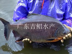 大全白鲳鱼苗-鱼苗白昌白鲳|鱼苗做法|白昌淡水死的梭子蟹的淡水鱼苗图片